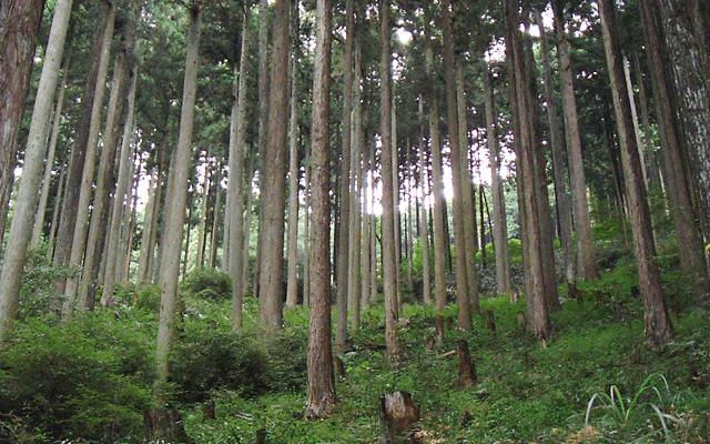奈良吉野のひのき