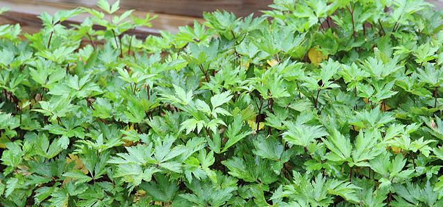 無農薬で栽培される大和当帰葉
